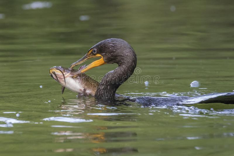 Cormorano a doppia cresta che mangia un grande pesce gatto del pesce gatto - immagini stock libere da diritti