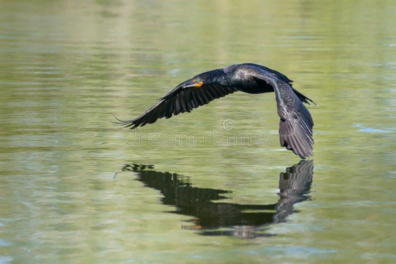 Cormorano a doppia cresta che scivola sopra l'acqua immagine stock libera da diritti