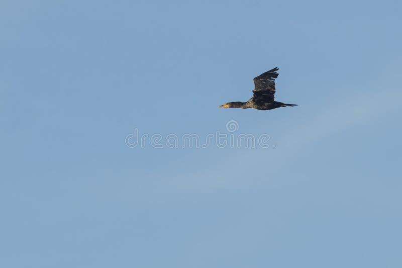 Cormorano a doppia cresta con la luce del fermo immagini stock libere da diritti