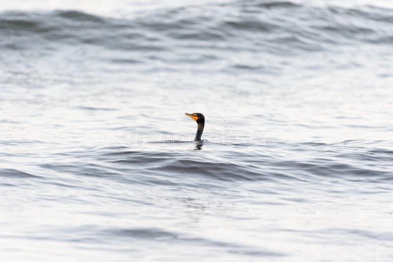 Cormorano a doppia cresta nella depressione dell'onda immagine stock