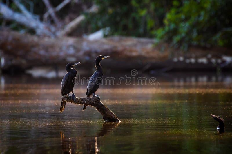 Cormorano neotropo - cormorano olivaceo - Phalacrocorax brasiliano - irrorazione in volo fotografia stock libera da diritti