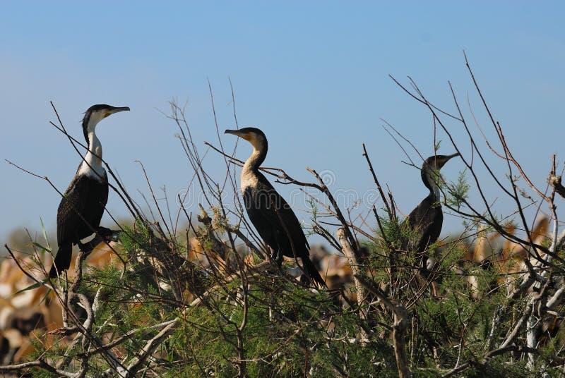 cormorans obrazy stock