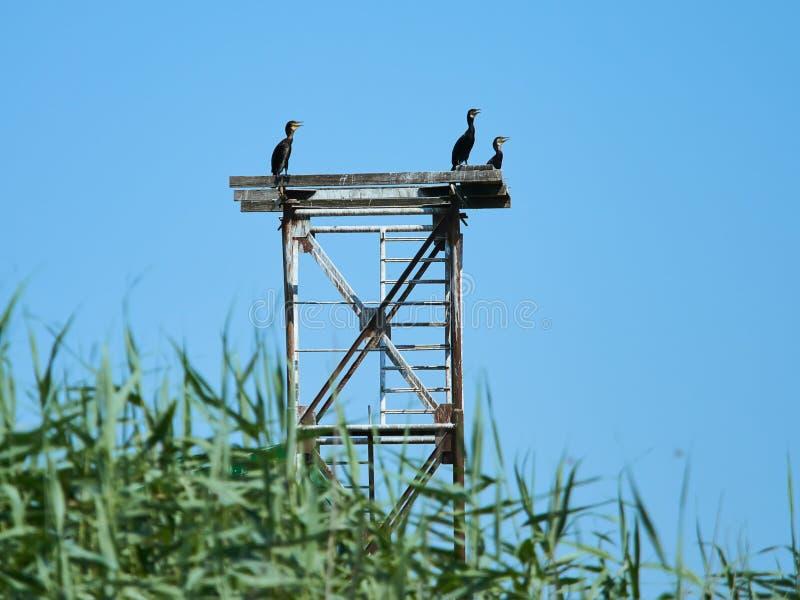 Cormorans che riposa nel delta di Danubio, Romania immagini stock libere da diritti