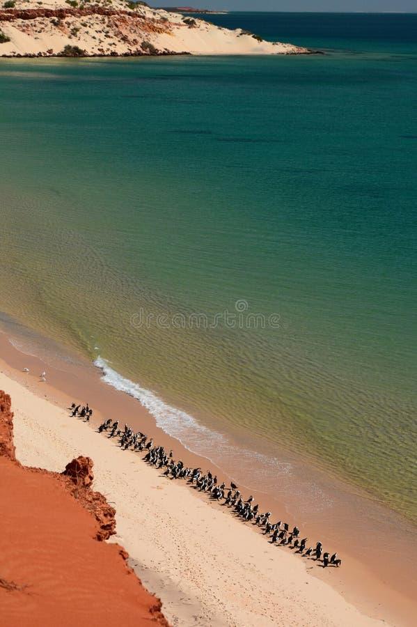 Cormorans na praia Parque nacional de François Peron Baía do tubarão Austrália Ocidental imagens de stock