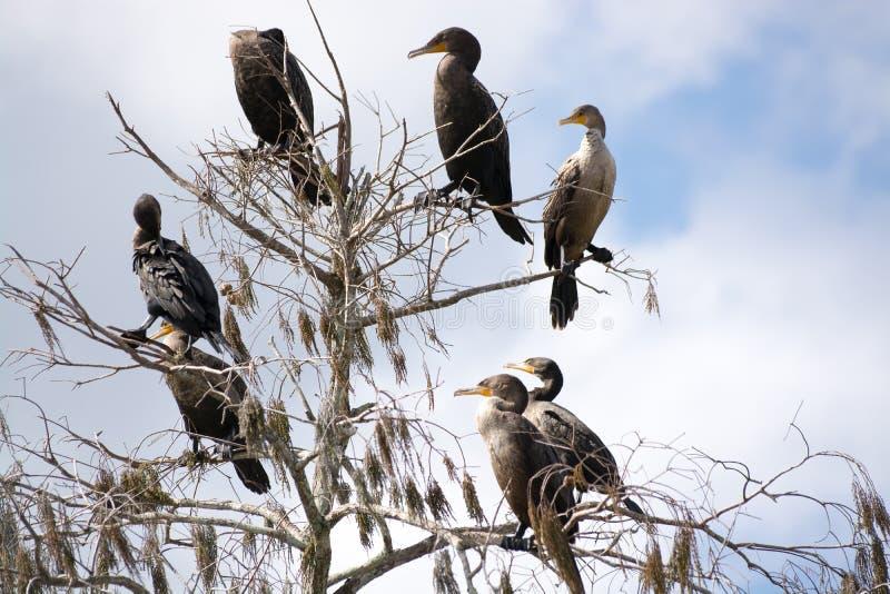 Cormorans se reposant dans un arbre, marais, la Floride, Etats-Unis image stock