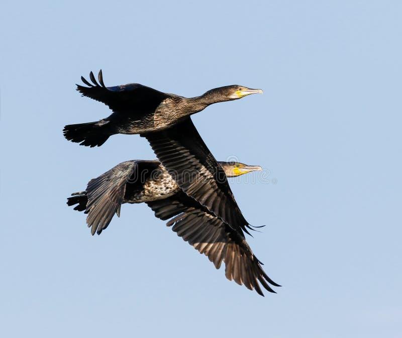 Cormorans volant ensemble images stock