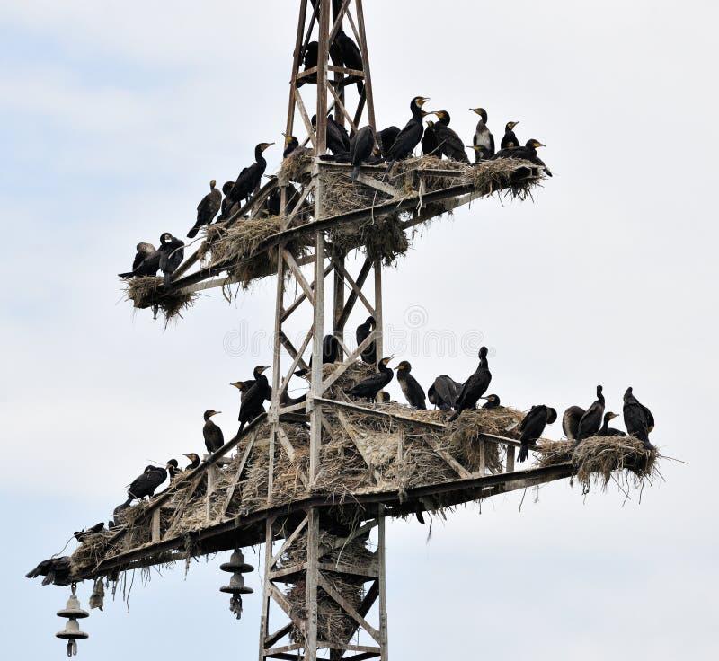 cormorant колонии стоковое изображение rf