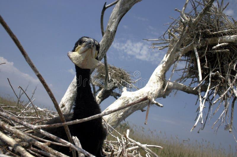 cormorant 01 royaltyfria bilder