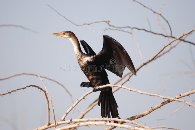 Download Cormorant stock image. Image of kenya, africa, wild, bird - 25550129