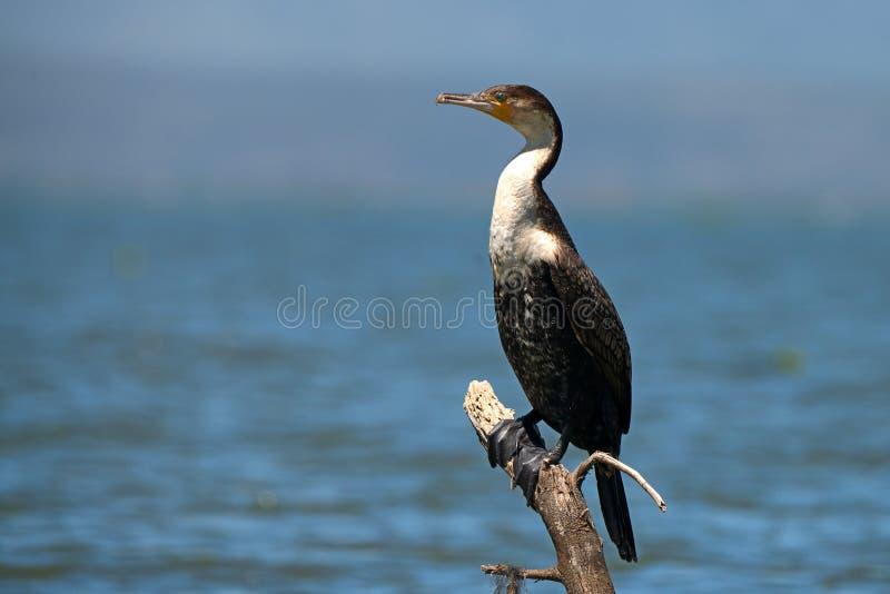 Cormorant Bianco-breasted (lucidus del phalacrocorax) immagine stock libera da diritti