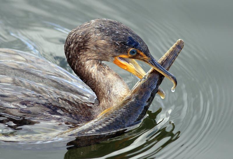 Cormorant bird with Alligator Gar Fish stock images