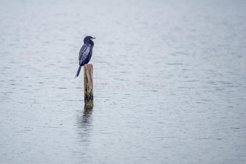 Cormorant bird in the Hula Nature Reserve. Cormorant bird on a pole in the lake, in the Hula Nature Reserve, northern Israel royalty free stock image