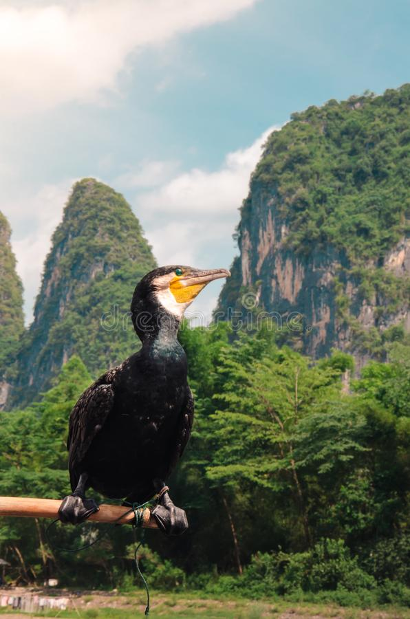Cormorant Bird Perched on a Pole in Guilin`s Lijiang River. The great black cormorant Phalacrocorax carbo was traditionally employed by fishermen in Guilin stock photo