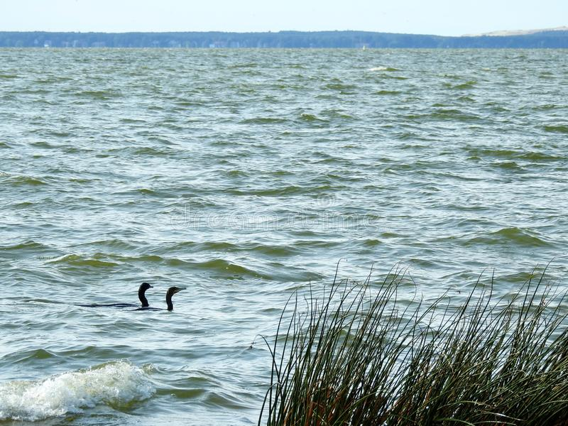 Cormorant birds in Curonian spit, Lithuania stock image