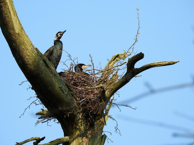 Cormorant birds on old tree branch, Lithuania royalty free stock photography