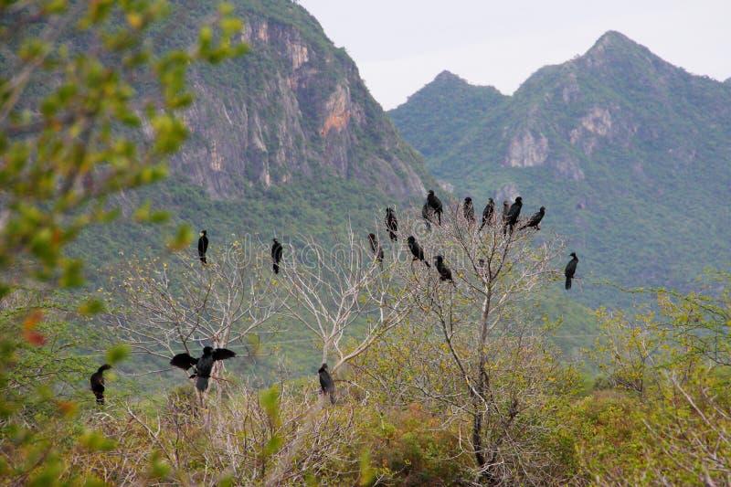 Download Cormorant, Black Birds On The Tree, Thailand. Stock Image - Image: 26482575