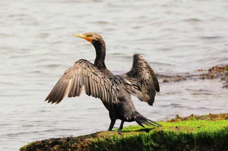Cormorant royalty free stock photos