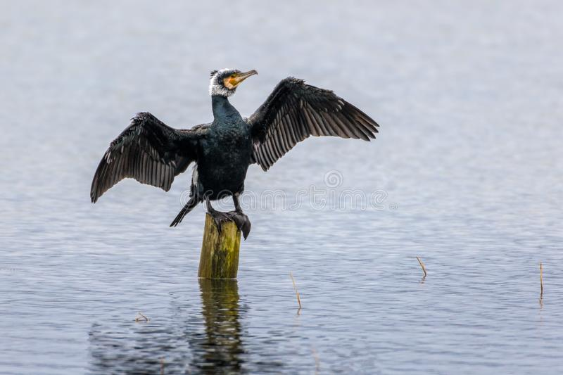 A Cormorant in breeding Plumage. Cormorant in full breeding plumage spreads his wings as he petched on a woden post at Kenfig Nature Reserve, UK stock photos
