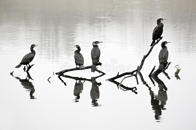 Cormorant, carbo de Phalacrocorax image libre de droits