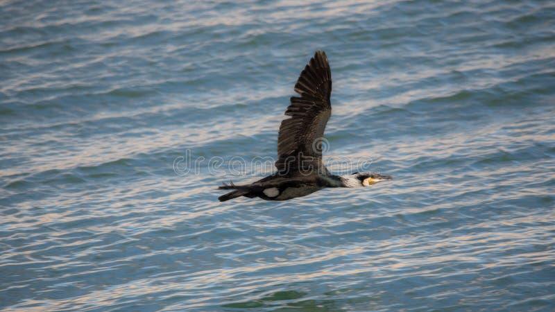 Cormorant che vola in basso sopra l'acqua, Estepona immagini stock libere da diritti