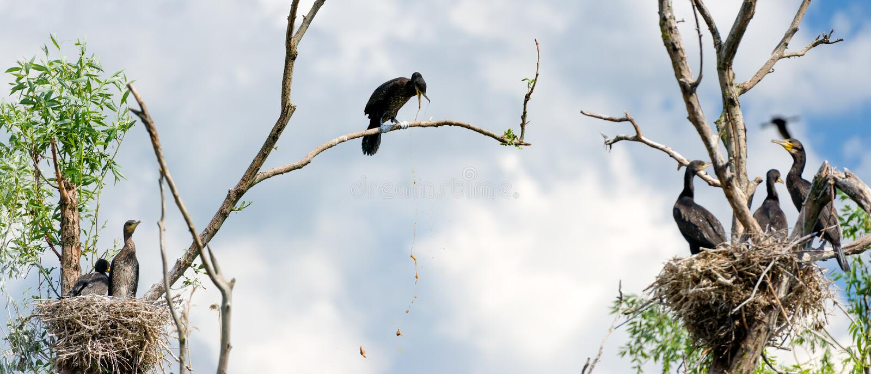 Cormorant che vomita nel delta di Danubio fotografia stock libera da diritti