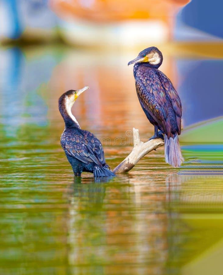 Cormorant com crista dobro Auritus do Phalacrocorax fotografia de stock