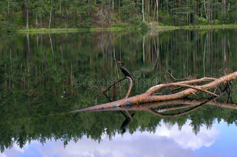 Download Cormorant Dans Le Sanctuaire De Tobolinka Image stock - Image du réflexion, arbre: 51467