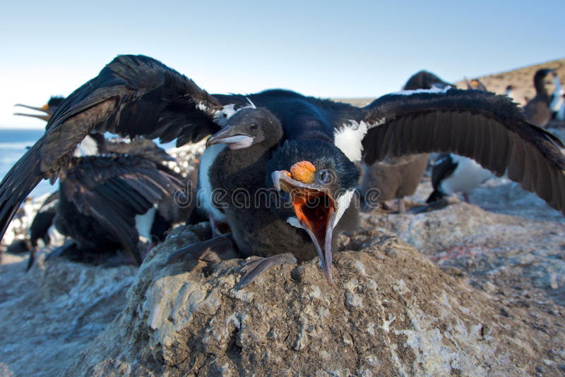 Cormorant Defending A Hatchling Stock Photography
