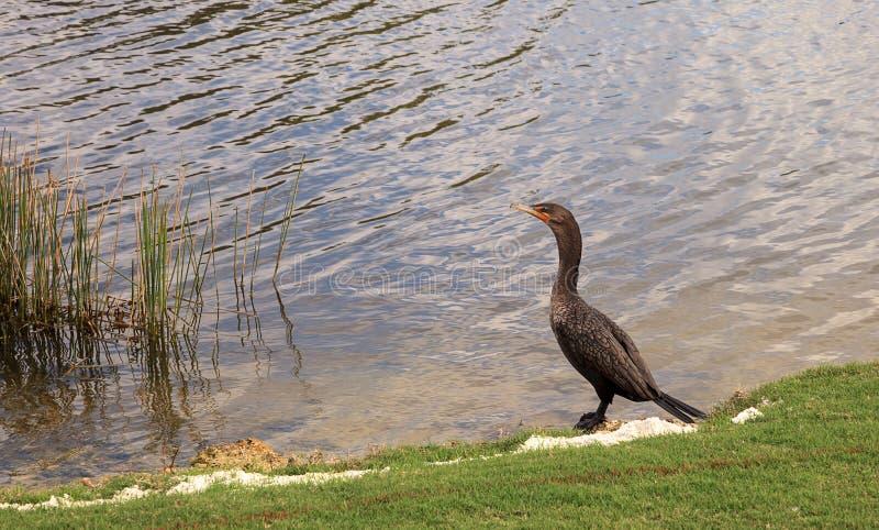 cormorant Dobro-com crista, auritus do phalacrocorax imagem de stock royalty free
