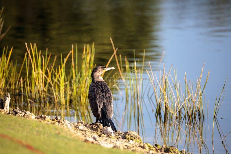 cormorant Dobro-com crista, auritus do phalacrocorax imagens de stock