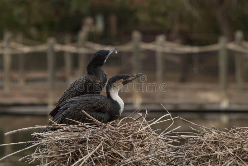 cormorant Dobro-com crista, auritus do phalacrocorax foto de stock
