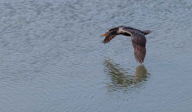 cormorant Dobro-com crista, auritus do phalacrocorax fotografia de stock