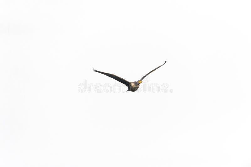 Cormorant Doppio-crestato acerbo fotografia stock libera da diritti