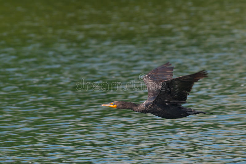 Cormorant Doppio-Crestato durante il volo fotografia stock