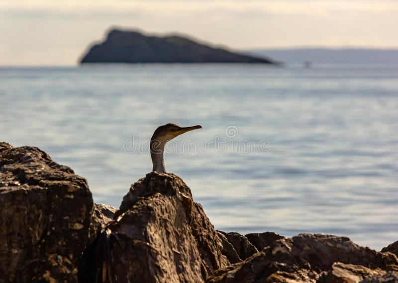 Cormorant Double-cr?t? dans Ibiza photographie stock libre de droits