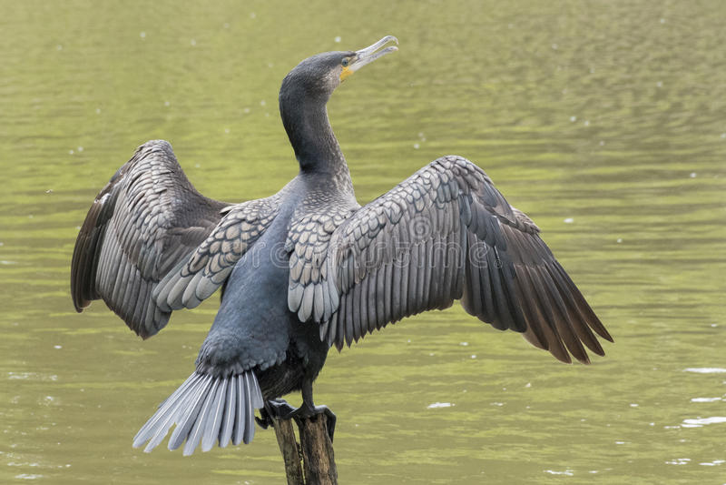 Download Cormorant stock photo. Image of ornamental, pond, cormorant - 96921392