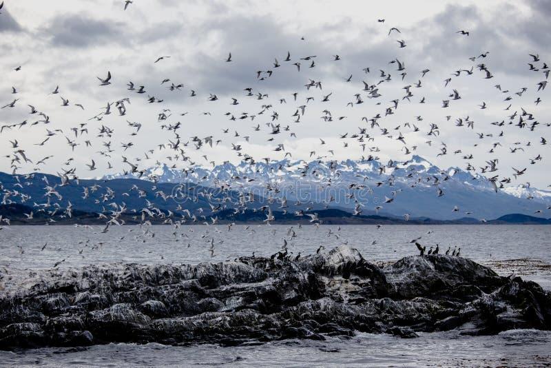 Cormorant et la colonie de mouette sur une île chez Ushuaia dans le briquet creusent des rigoles le détroit de briquet, Tierra De images libres de droits
