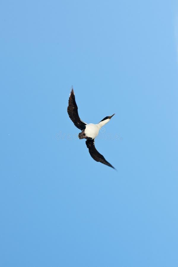 Cormorant favorito volante immagini stock libere da diritti