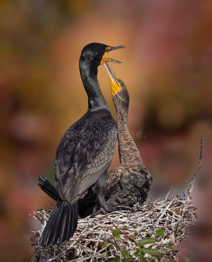 Cormorant female feeding her chick royalty free stock photography