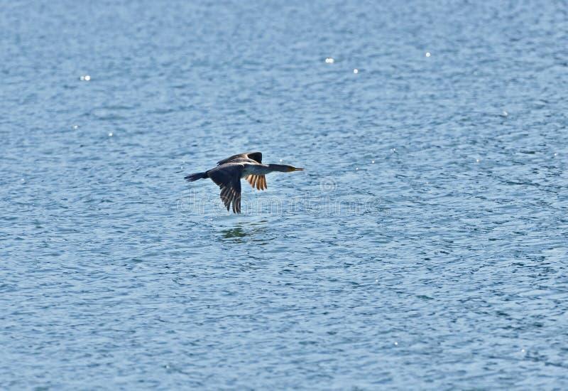 A Cormorant Flying stock photo