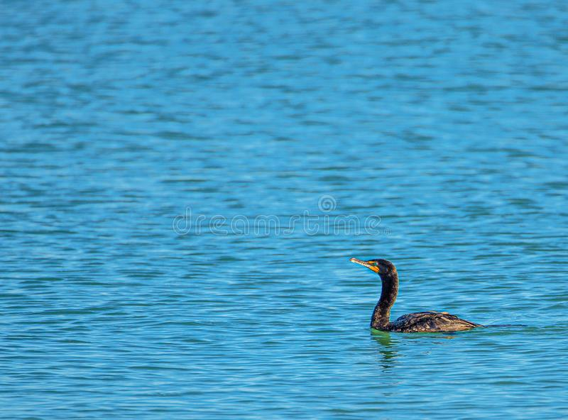 Cormorant in golfo del Messico, rocce indiane tira, Florida immagini stock