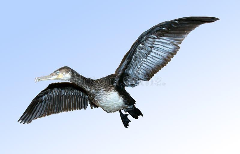 Cormorant grand, carbo de Phalacrocorax image libre de droits