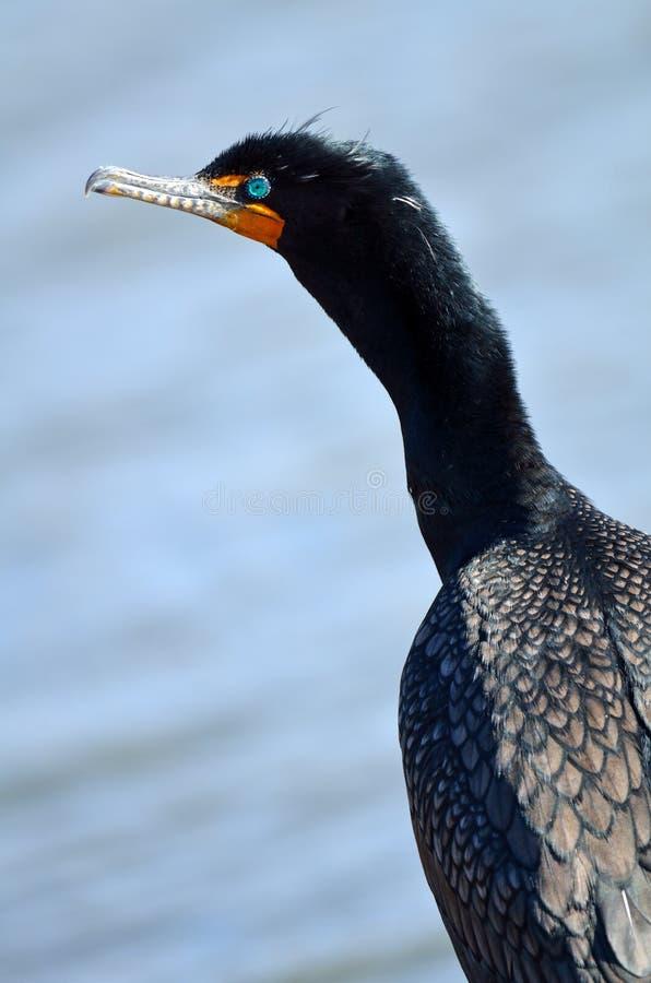 cormorant krönad double royaltyfri foto