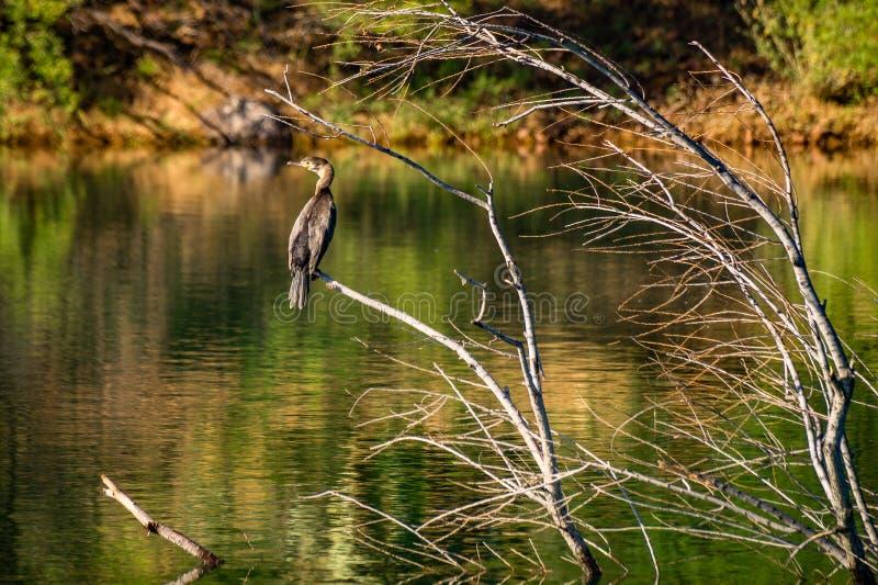Cormorant - l'Arizona photos libres de droits