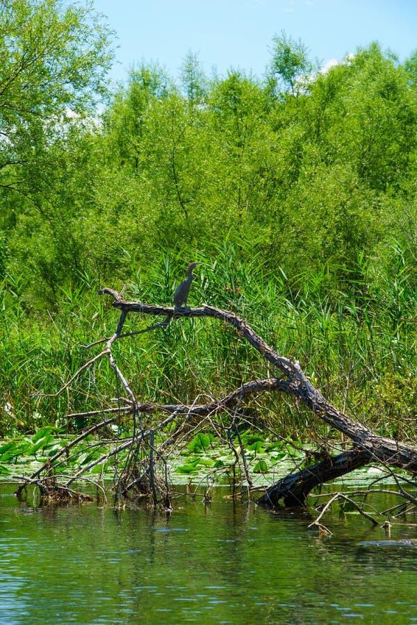 Cormorant, lago Skadar fotografie stock libere da diritti