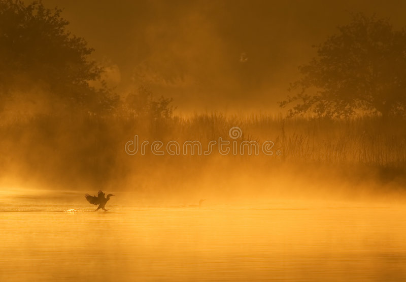 Cormorant Landing royalty free stock photography