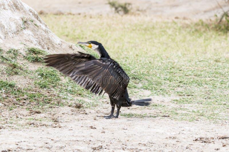 Cormorant landing stock photography