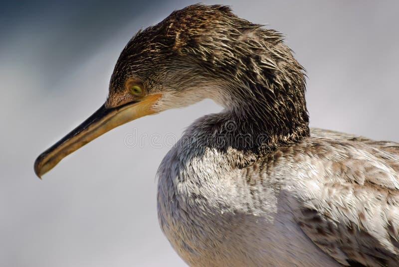 Cormorant Mediterraneo fotografia stock libera da diritti