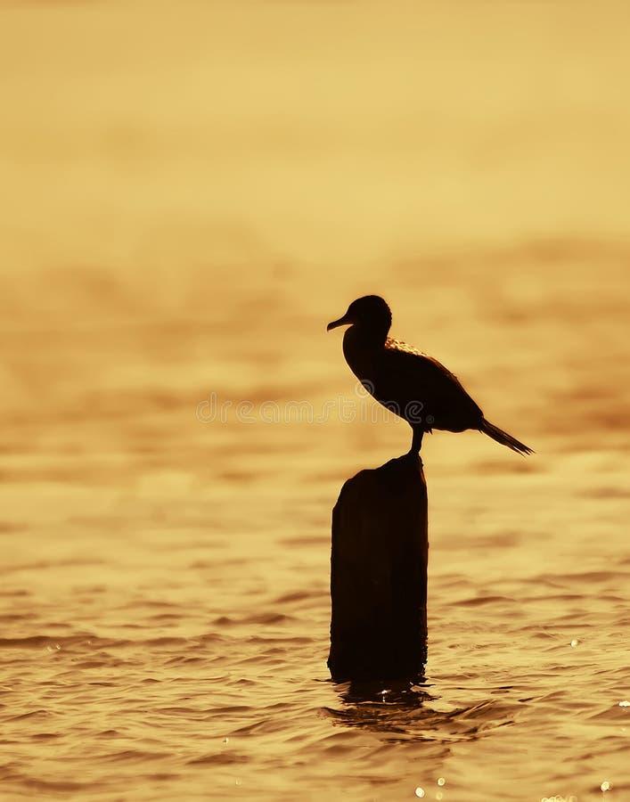 Cormorant no por do sol foto de stock royalty free