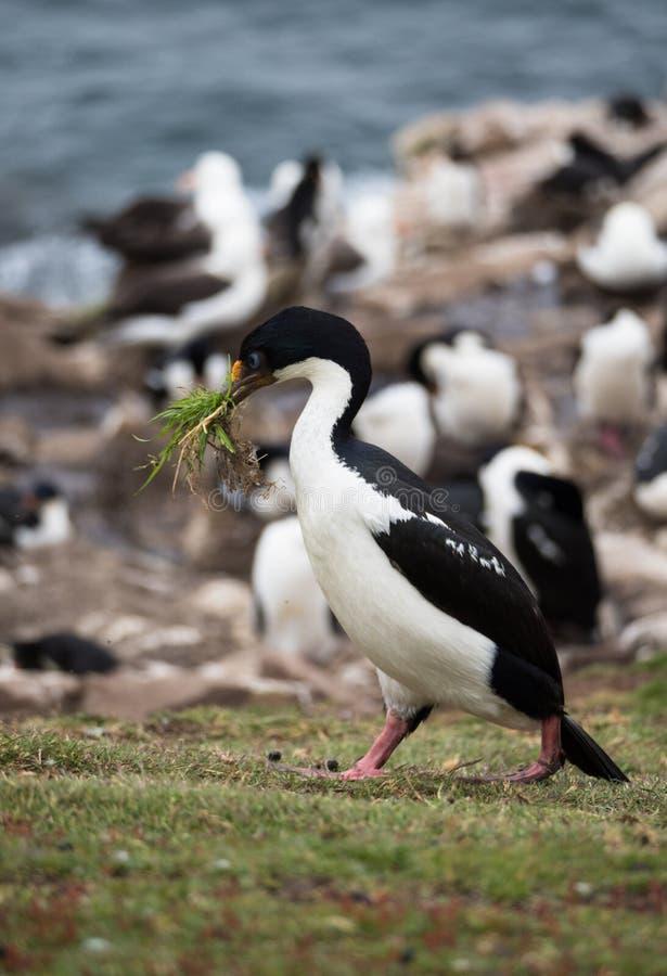 Cormorant observé par bleu avec le matériel d'emboîtement image libre de droits